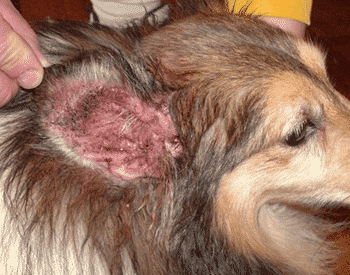 How To Prevent Yeast Infection In Dogs Ears Best Yeast