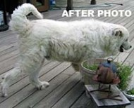 Great Pyrenees, Alf after Nzymes yeast removal