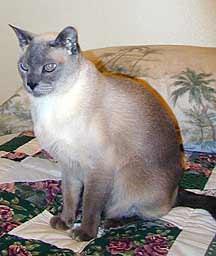 Lobo – Tonkinese Cat Overcomes Hepatitis C