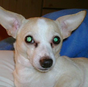 Chihuahua Pee Wee with paralysis history