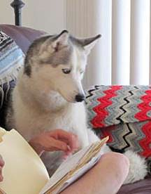 Abbey, Husky Recovers from Joint Pain