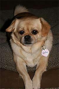 Daisy, Pekingese sees Disc Disease Relief