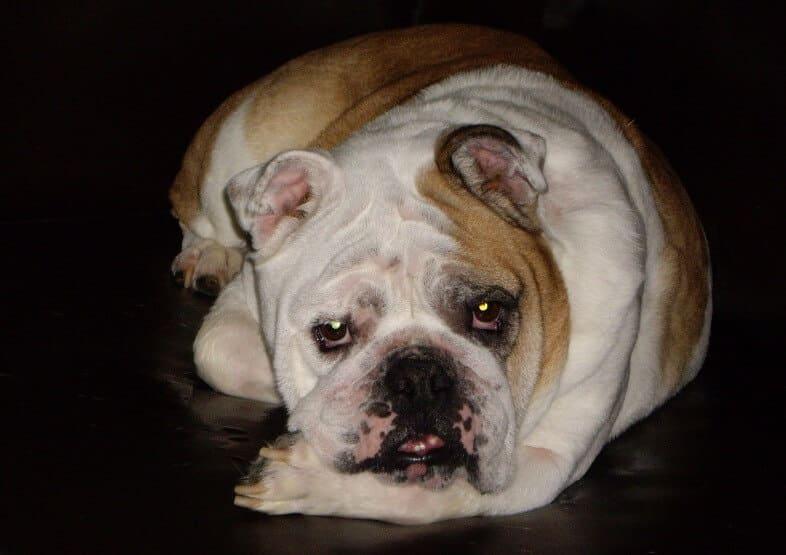 Savanna, Bulldog Overcomes Serious Skin/Ear Problems