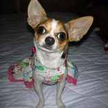Abby, a Chihuahua Overcomes Dog Pneumonia Challenges