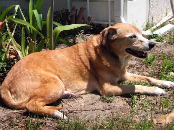Ginger, Finally Free of Horrific Dog Skin Problems