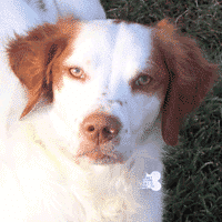 Brittany Spaniel and Vaccine Reactions