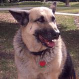 Lacy, A Shepherd Hip Dysplasia Story