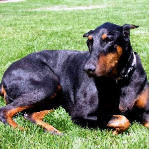 Doberman with urinary leaking