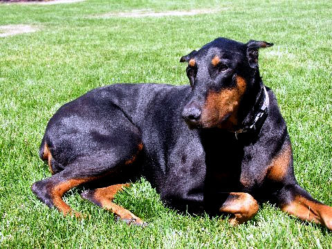 Goldie, a Doberman with Urinary Leaking Resolved