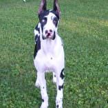 Harlequin Dane – Vaccine Reaction & Recovery