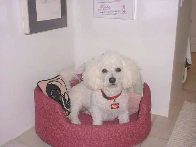Jozie, a Bichon Frise Overcomes Sudden-onset Paralysis