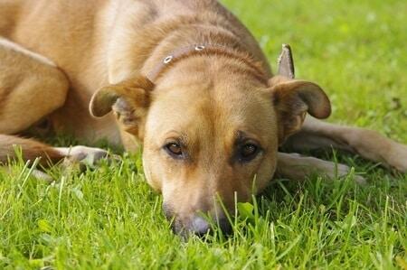 Bloody Diarrhea in Dogs