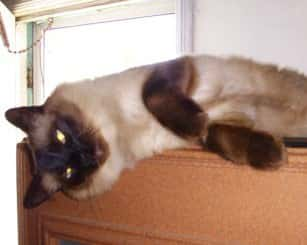 Chauncey, Siamese Cat had Hairballs and Shedding
