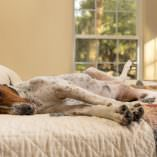 Coonhound Syndrome in Dogs