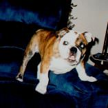 Bulldog Emmet overcomes Dog Pneumonia