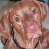 Scout, Vizsla Dog with Skin Problems