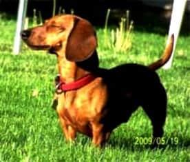 Biggles, a Dachshund had Digestive Problems