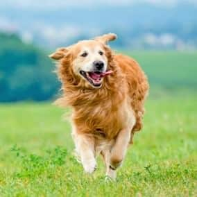 3 Things to Consider about Hip Dysplasia in Dogs