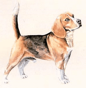 Dog Hip Pain with Beagles