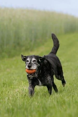 Old Dog with Arthritis