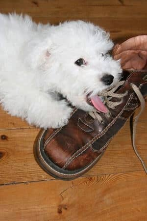 dog eating shoe digestive problem