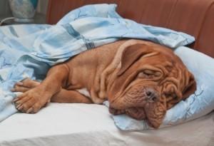 dog with hip dysplasia
