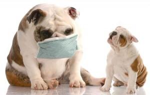 reverse sneeze bulldog