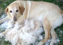 dog_profuse_shedding