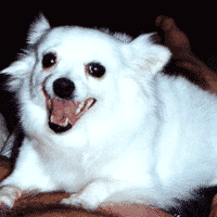 Biscut, American Eskimo with Seizure History