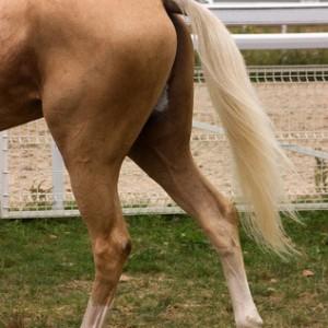 horsehock&stifle