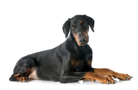 Wobblers Syndrome in Dogs
