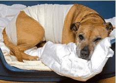 dog-back-spinal-injury