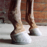 Navicular Problems in Horses