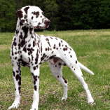 Apache, no more Coprophagia for this Dalmatian