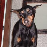 Duke, Doberman had Suffered with Wobblers Syndrome