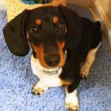 Rosie, a Dachshund Puppy Overcomes Kennel Cough