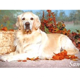 Sam, a Golden Previously Troubled by Hot Spots