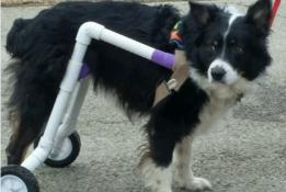 bailey-in-wheelchair