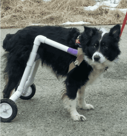 Bailey, Aussie Enjoys Life Free from Wheelchair and Paralysis