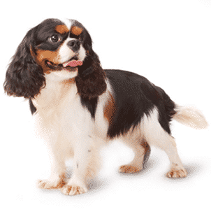 Cavalier King Charles Spaniel & Dog-Food Poisoning