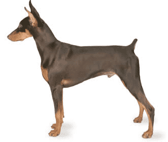 Aries; this Doberman Pinscher was Troubled with Wobblers