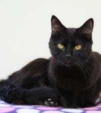 dsh cat - black