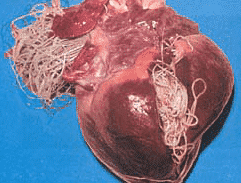 Heartworm Example Nzymes Com