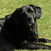 Jake, Labrador Retriever and Dog Arthritis Troubles