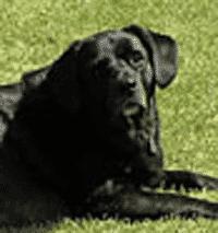 Jake, Labrador Retriever and Dog Arthritis Troubles