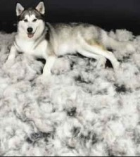 dog-over-shedding