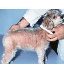 Cushing's Disease and Dogs