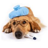 Dog Flu or Canine Influenza