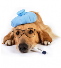 canine flu suffering