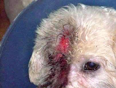 Yoshie, Bichon skin problems before NZYMES